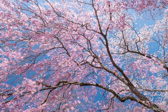 見上げるしだれ桜