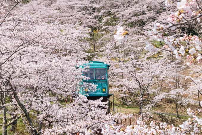 満開の桜とスロープカー