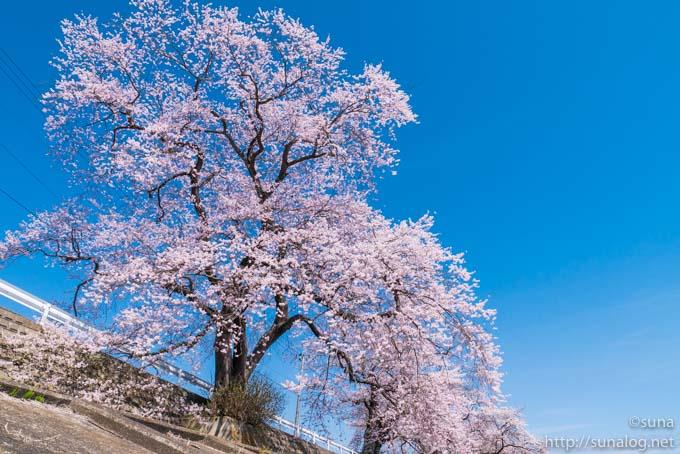 柴田大橋近くの桜