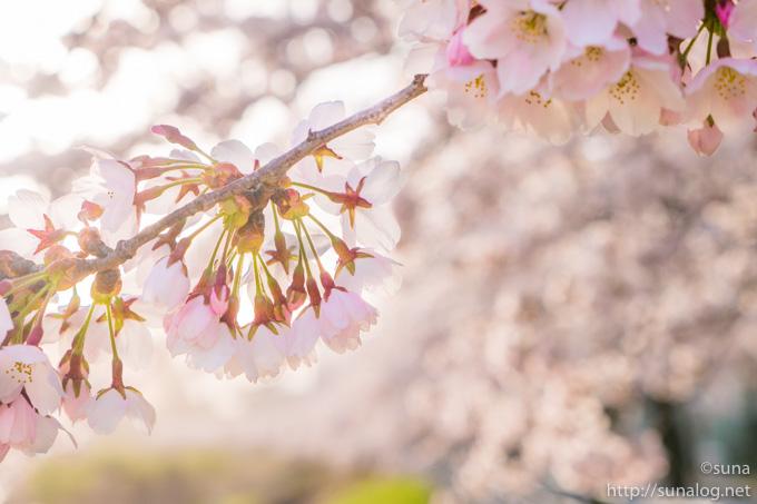 朝日のなかの桜