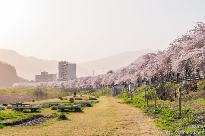 馬見ヶ崎川沿いの桜並木