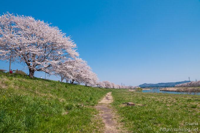 柴田大橋近くの一目千本桜