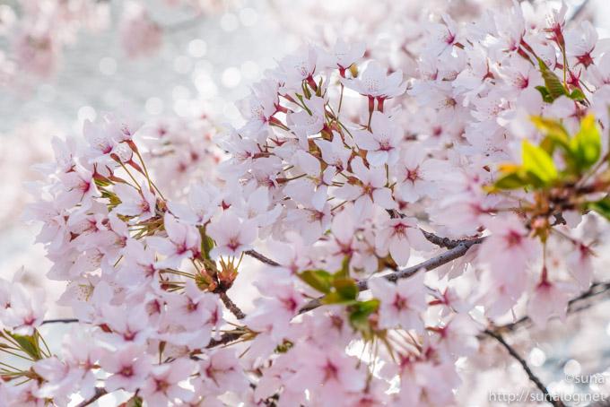 キラキラと桜