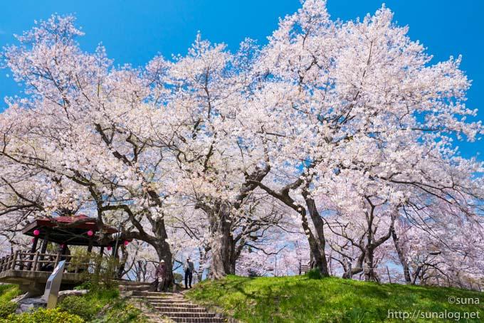 桜満開の烏帽子山公園