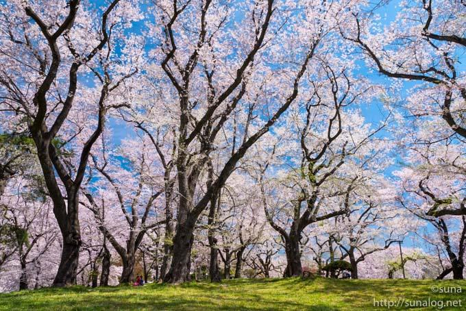 烏帽子山公園の背が高い桜