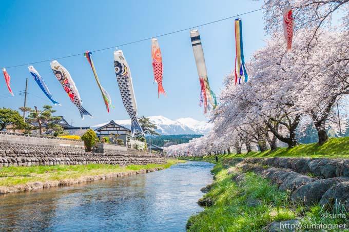 洗沢川の桜並木と鳥海山と鯉のぼり