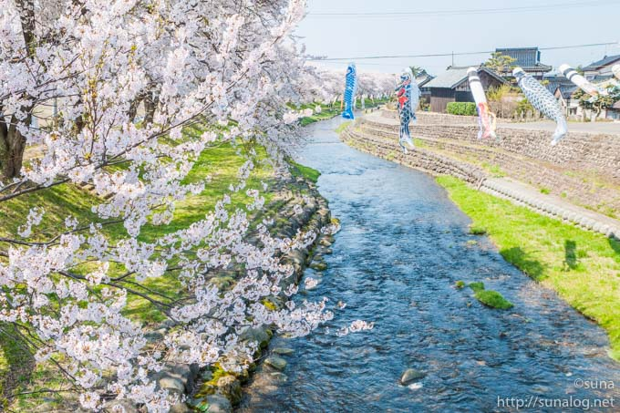 洗沢川の桜