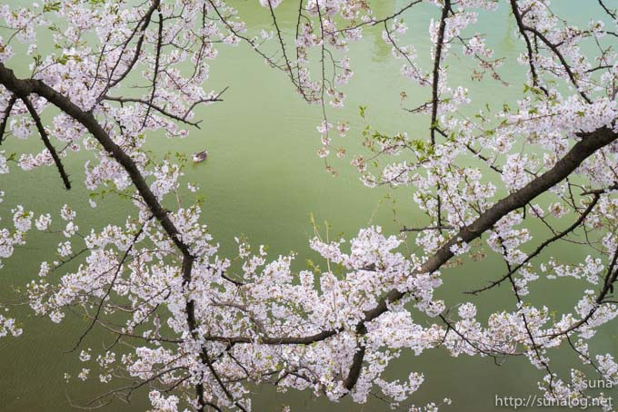 お堀とカモと桜
