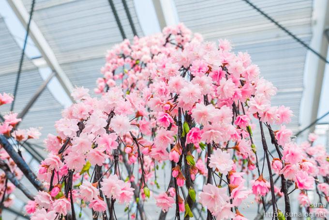 パンの花 枝垂れ桜