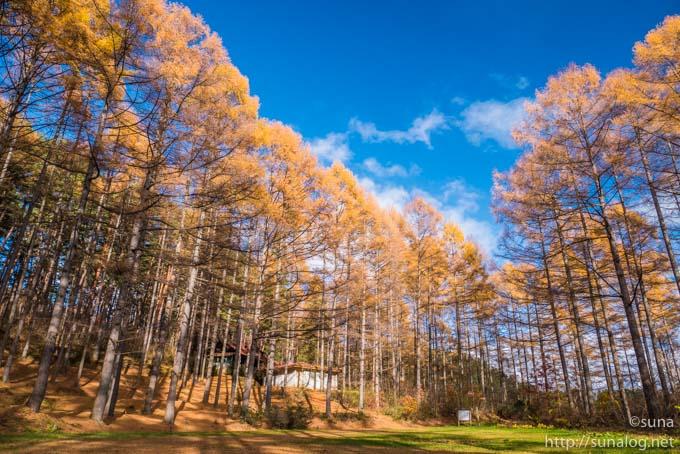 山形県 県民の森のカラマツの紅葉