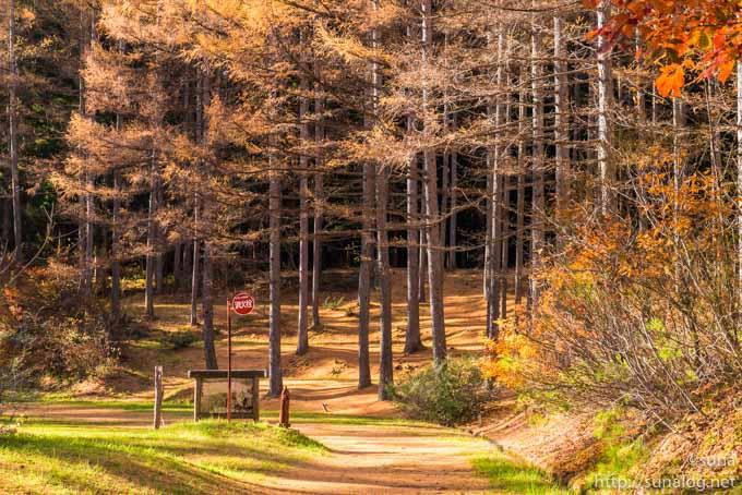 キャンプ場近くのカラマツの黄葉