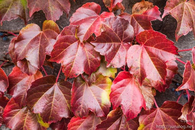 鮮やかに紅葉するツタ