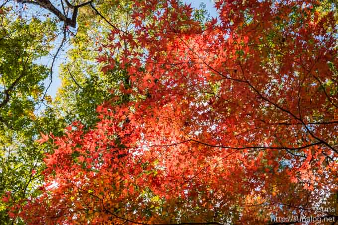 真っ赤なモミジの紅葉