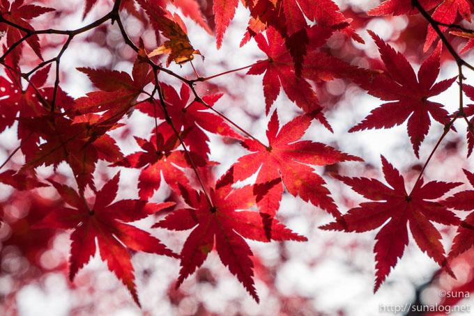 真っ赤なモミジの葉っぱ