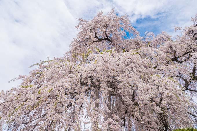 振袖のようなしだれ桜