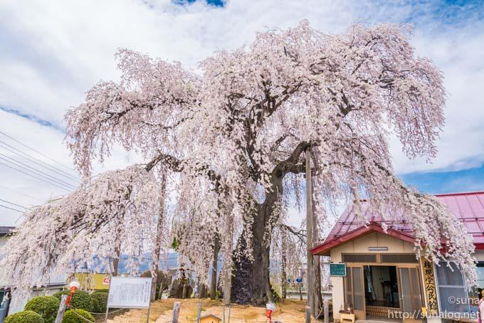 権現堂のしだれ桜(振袖桜)