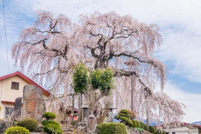 振袖桜と石碑