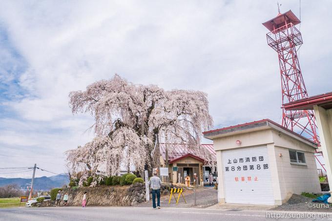 火の見櫓と振袖桜
