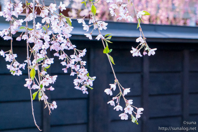 黒塀と枝垂れ桜