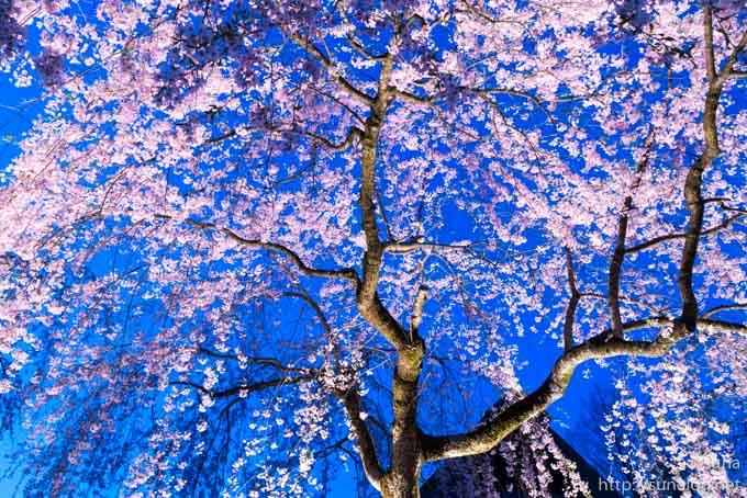 夜空と枝垂れ桜