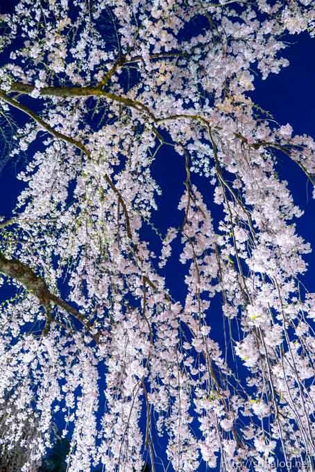 夜の枝垂れ桜