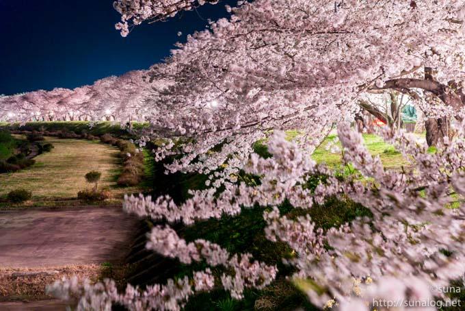 角館 桧木内川堤の夜桜ライトアップ