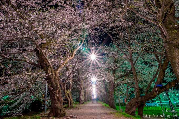桜並木を照らすライト