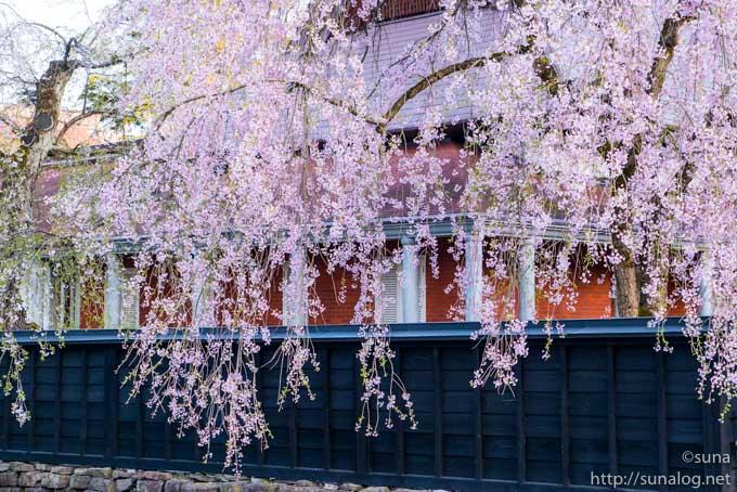 たくさんの花をつける枝垂れ桜