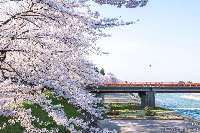 赤い橋と桧木内川堤の桜
