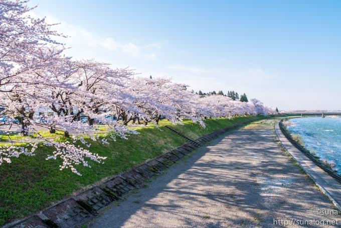 橋の上から見た桜並木