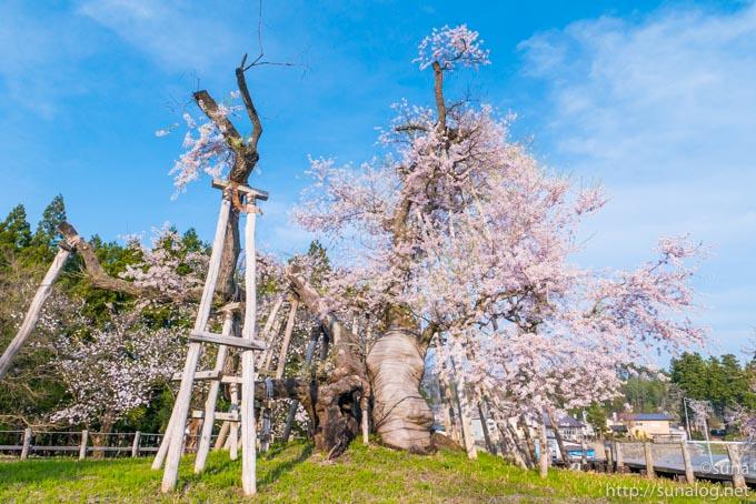 正面から見た伊佐沢の久保桜