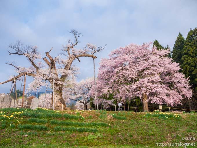 釜の越桜と勝弥桜