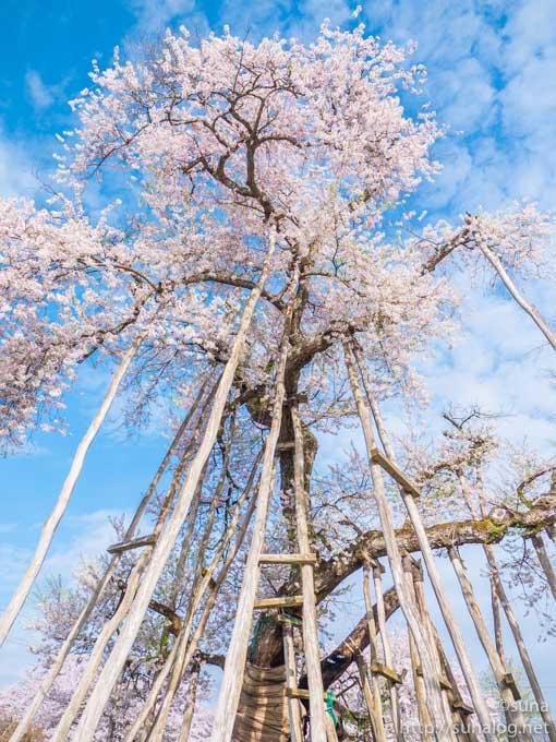 久保桜を支える沢山の棒