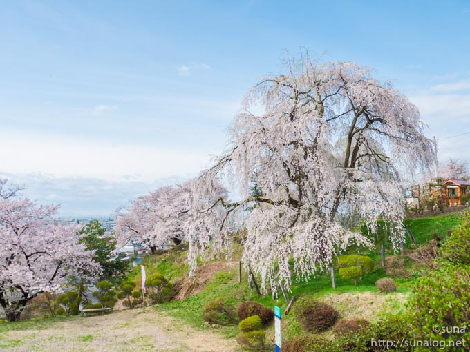 眺陽桜と芝生