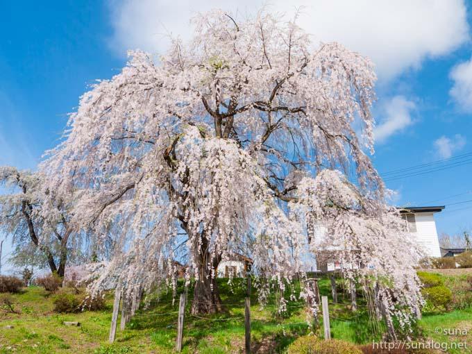 正面からみた眺陽桜