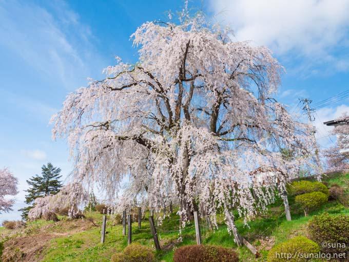 名木 眺陽桜