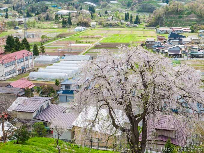 名木 慶海桜