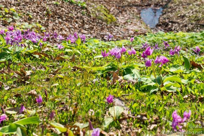 カタクリが咲く山