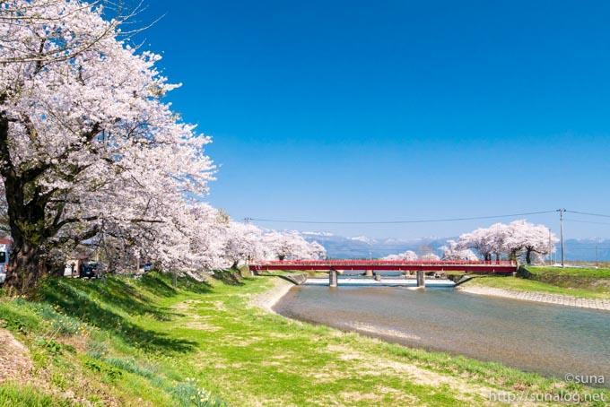 斉内川河川敷の桜