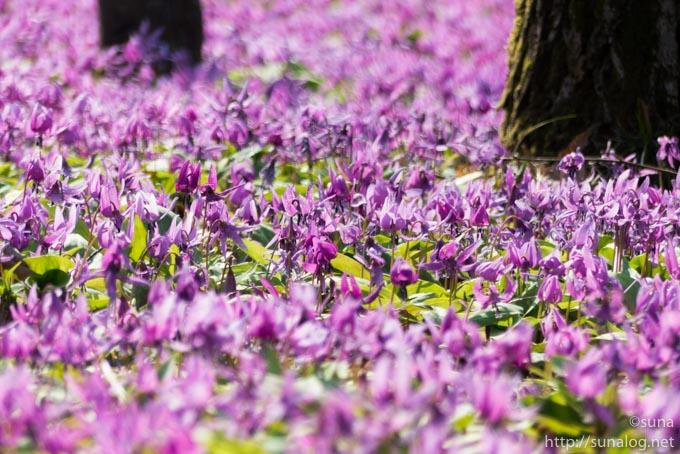 カタクリの花畑