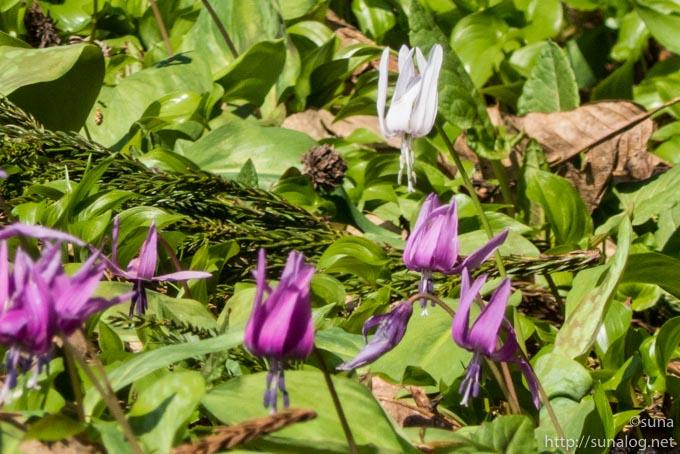 白色のカタクリの花