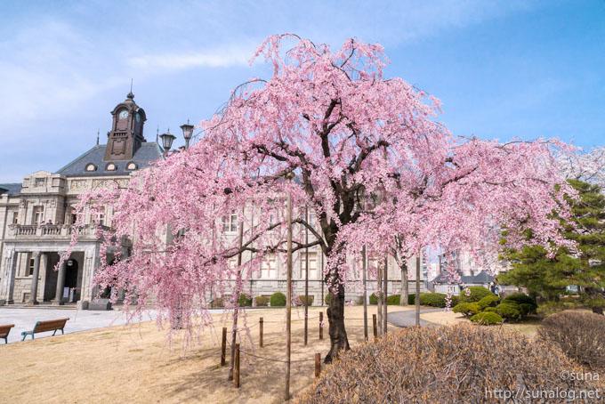 濃いピンク色の枝垂れ桜