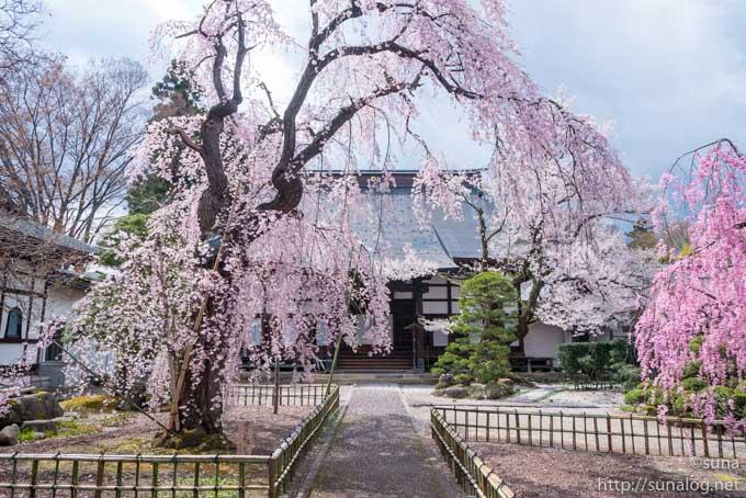 光禅寺の枝垂れ桜