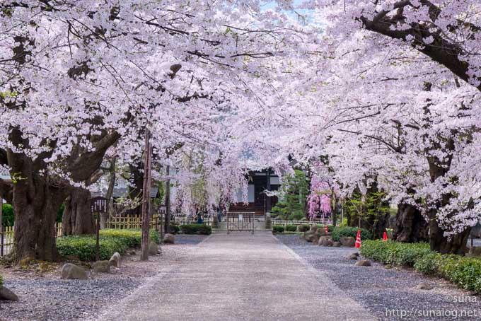 桜咲く光禅寺の参道