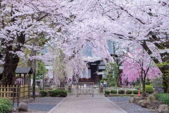 桜に包まれる光禅寺